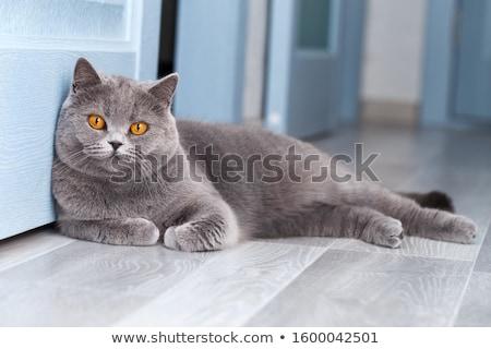 英国の · ショートヘア · 猫 · 青 · 赤 · 顔 - ストックフォト © alex9500