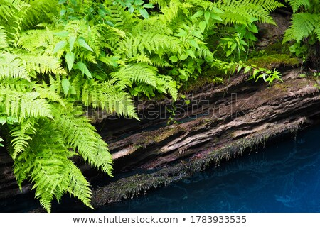 Ferns over water surface Stock photo © bezikus