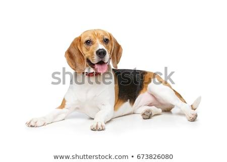 gyönyörű · kopó · kutya · izolált · fehér · lány - stock fotó © svetography