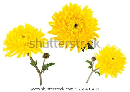 Foto stock: Hermosa · amarillo · crisantemo · aislado · blanco · saludo