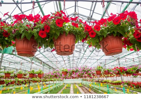 Potted petunias growing in greenhouse Stock photo © IS2