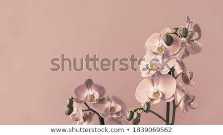 Virág szépia gyönyörű orchidea lövés izolált Stock fotó © fyletto