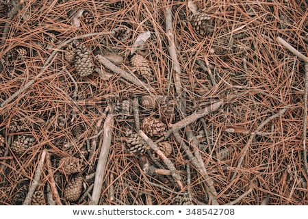 Pine cone on the forest floor Stock photo © boggy