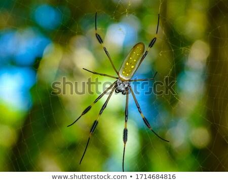 Golden Orb Spider in its web in Cahuita Beach in Costa Rica Stock photo © Lopolo