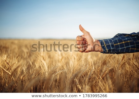 Hand of farmer showing the quality of the wheat grains Stock photo © Kzenon