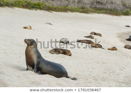 Galapagos Sea Lion in sand lying on beach. Many Galapagos Sea Lions on cruise ship adventure travel  Stock photo © Maridav
