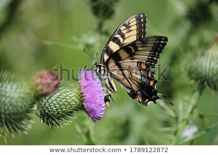 Colorful swallowtail butterfly flying and feeding on flowers Stock photo © Ansonstock