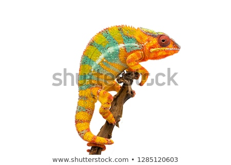 Colorful lizard isolated. Stock photo © angelsimon
