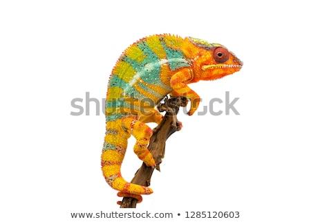 colorido · lagarto · isolado · branco · verde · azul - foto stock © angelsimon