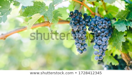Stock photo: blue grapes on vines