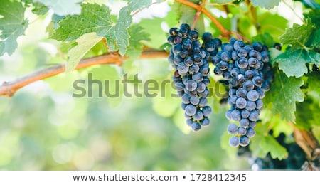 blue grapes on vines stock photo © smithore