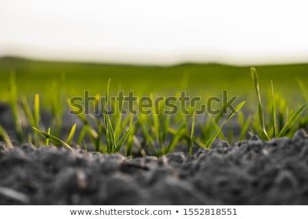 Jęczmień sadzonki krótki wiosną charakter roślin Zdjęcia stock © Stocksnapper