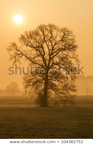 Leafless tree in the morning fog in rural Bavaria, Germany Stock photo © haraldmuc