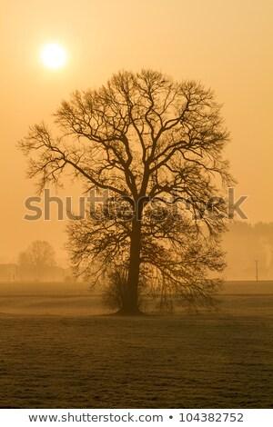 Leafless Tree In The Morning Fog In Rural Bavaria Germany Stok fotoğraf © haraldmuc