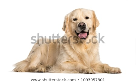 golden · retriever · kutya · fektet · fehér · állat · stúdió - stock fotó © milsiart