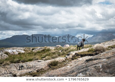 sheeps view of atlantic and mountains of ireland stock photo © morrbyte