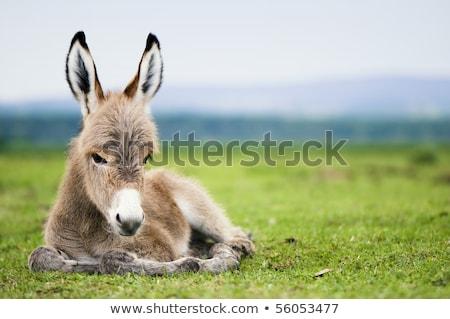 Foal, baby donkey Stock photo © stevanovicigor
