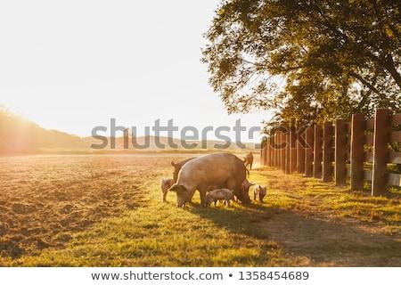 Boerderij varken groot vet familie gelukkig Stockfoto © jonnysek