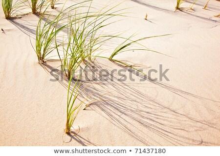 Wind blown grass on sand dune  Stock photo © meinzahn