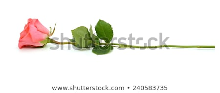 Pink rose with stalk and leaves Stock photo © wavebreak_media
