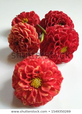 red pompom dahila flower Stock photo © stocker