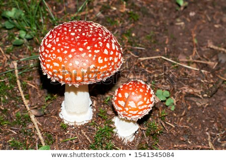 agaric amanita muscaia mushroom detail in forest autumn stock photo © juniart