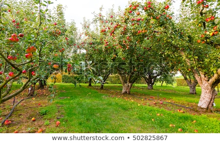 Apple tree orchard in lush countryside Stock photo © TheFull360