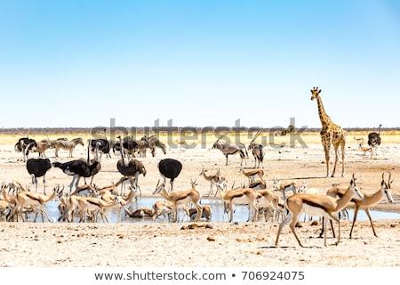 zebra · Namibya · park · Afrika · su - stok fotoğraf © imagex