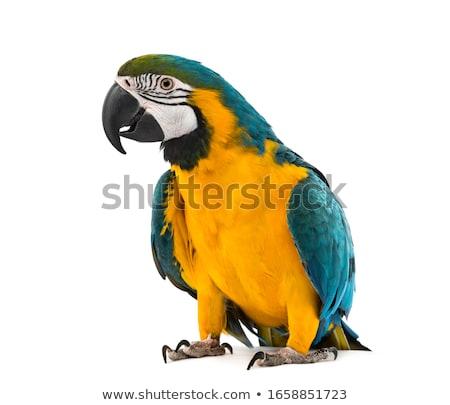рисованной эскиз Cartoon иллюстрация Parrot глаза Сток-фото © perysty