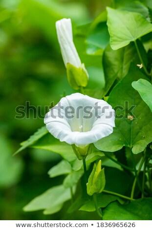 White Convolvolus flower detail  Stock photo © AlessandroZocc