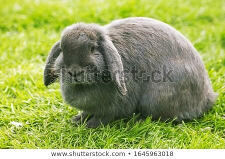 pyłu · bunny · w · górę · miotła · domu - zdjęcia stock © arenacreative