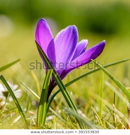 krokus · bloem · paars · witte · gras · bloemen - stockfoto © mady70