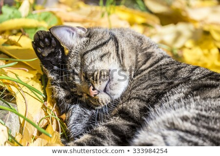 cat enjoys the warm light in autumn on a leave bed Stock photo © meinzahn