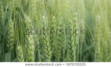Verde orejas híbrido trigo centeno campo Foto stock © stevanovicigor