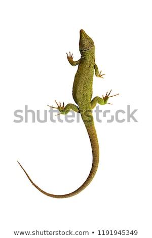 Verde lagarto isolado branco floresta Foto stock © taviphoto