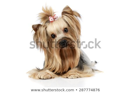 Stock photo: yorkshire terrier looking into the camera in a wehite studio