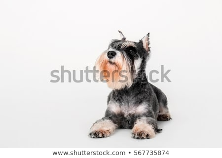 miniature schnauzer looking up in a black studio background stock photo © vauvau