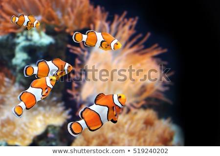 Сток-фото: клоуна · рыбы · океана · иллюстрация · любви · морем
