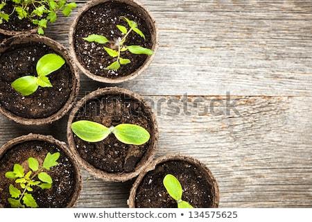 Potted seedlings growing in biodegradable peat moss pots on natu Stock photo © Yatsenko