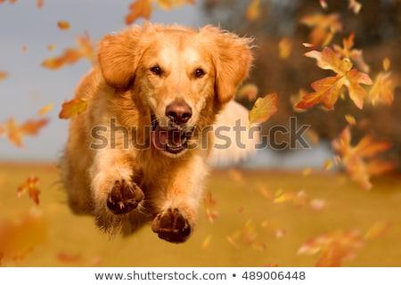 Golden retriever hond lopen illustratie natuur achtergrond Stockfoto © bluering