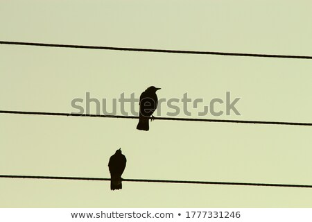 magpie couple on wire Stock photo © adrenalina