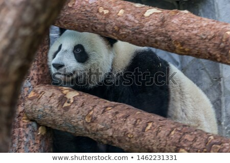 A panda keeper on white background Stock photo © bluering