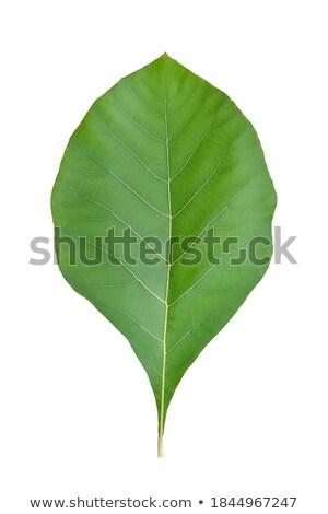 teak leaf stock photo © koratmember