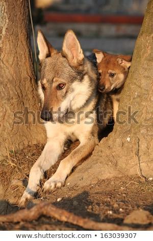 Higgadt kicsi farkas rajz illusztráció néz Stock fotó © cthoman