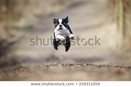 Repülés kutyakölyök aranyos óriás fülek digitális Stock fotó © iko