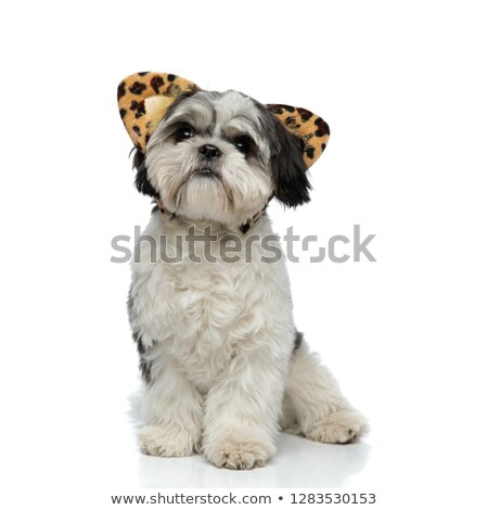 cute shih tzu wearing animal print ears headband looks up Stock photo © feedough