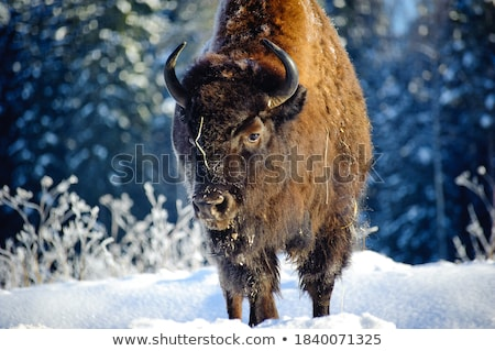 Winter Landscape and Bull with Horns in Forest Stock photo © robuart