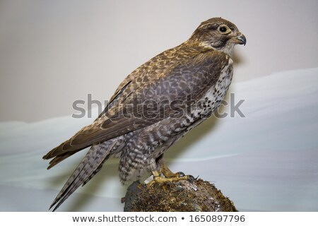Hawk. Stuffed animal Stock photo © nomadsoul1