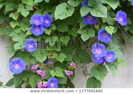 Fioletowy rano chwała zielone liście kwiat piękna Zdjęcia stock © hlehnerer