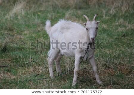 няня коза зеленый области дома трава Сток-фото © basel101658
